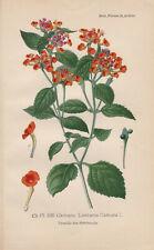 Wandelröschen (Lantana camara) Chromo-Lithographie von 1893 Bois