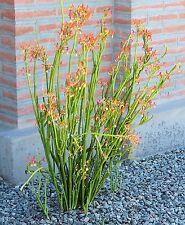3 Cuttings Rare Pedilanthus Macrocarpus succulent plant cactus Gift