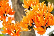 der wunderschöne Lackbaum hat superschöne orange Blüten !