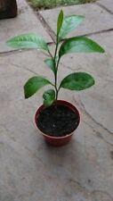 Bush/Shrub Sub-tropical Fruit Plants
