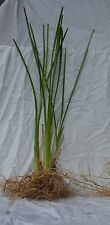 Vetiver Grass Australia