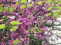 CERCIS SILIQUASTRUM 100 semi seeds Love tree albero di Giuda