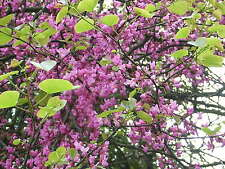 CERCIS SILIQUASTRUM 100 semi seeds Love tree albero di Giuda