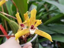 orchidée  Brasiliorchis ubatubana orchid orchideen