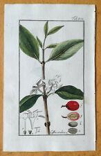 ZORN Original Colored Botanical Print Coffee Coffea arabica - 1796#
