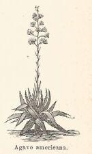 B2777 Agave americana - Xilografia d'epoca - 1924 old engraving