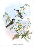"""Vintage Hummingbird Art John Gould CANVAS PRINT~ Agyrtria Taczanowskii 36x24"""""""