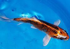 "New listing 6"" Kujaku Standard Fin Live Koi Fish - Japanese Breeder Otsuka"