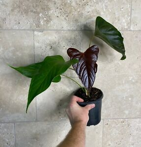 "Anthurium Bosworth Beauty  ""Very Rare Velvet leaf Aroid"""