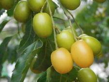 Seeds: 50 Pcs from Fresh Neem tree, Azadirachta indica, Rare, Season from Asia