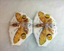 Peanut Head Bug 2 Lot Fulgora laternaria Rare Spread Specimen Ready for Framing