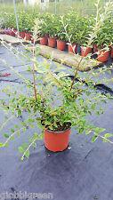 Cotognastro - Cotoneaster Franchetti vaso 17 (OFFERTA 25 piante)