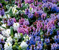 PRUNELLA SELF HEAL PAGODA MIX Prunella Grandiflora - 125 Bulk Seeds