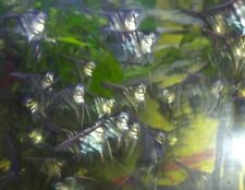 5 x Manacapurus Angels home bred