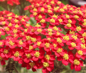 ACHILLEA millefolium 'Red Velvet' (Yarrow) Hardy perennial. Approx. 50 seeds
