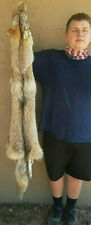 Soft Tanned Western Coyote, silky Clear belly, fur, coy60420