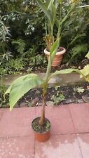 Musa Basjoo - Riesige Japanische Faser Banane winterharte Staude  ca.90cm