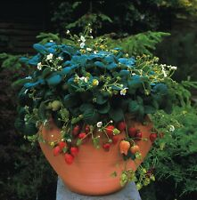 Strawberry Temptation - Basket type - 30 seeds - Vegetables/Fruits