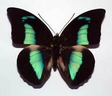 PREPONA DEMOPHON MUSON - unmounted butterfly