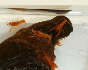 Mexican Orange Dwarf Crayfish Florida Grown Three Pack Unsexed