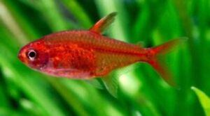(3pk) Fire Ember Tetra -  (Hyphessobrycon amandae) - 3 Live Freshwater Nano Fish
