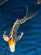 """New listing 8"""" BUTTERFLY DOITSU KUJAKU Live Koi Fish Pond Garden BKD 10/22"""