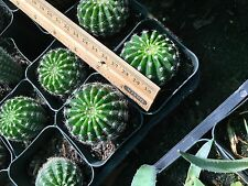 EASTER LILY CACTUS-- ECHINOPSIS ANCISTROPHORA. PUP. CACTUS