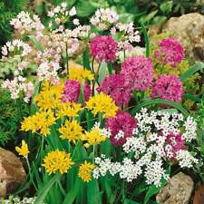 PRE-ORDER -50 x Mixed Small Flowering Great all round Allium Spring Flowers.
