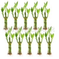 NW Wholesaler - 3 Plant Live Lucky Bamboo Arrangement - Bundle of 10