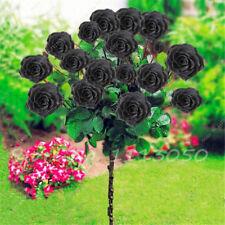 """20+ """"DWARF""""  BLACK  """"TREE ROSE""""  Seeds    USA SELLER SHIPS FREE"""