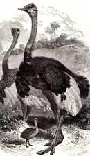 El avestruz Original Buffon antiguo grabado impresión de Historia Natural
