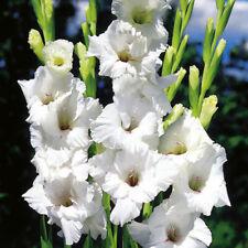 12 x GLADIOLI White Friendship - LARGE FLOWER - Perennial Garden Plant BIG BULBS