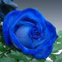 10 graines de Rosier rose BLEU ROYAL - 10x ROYAL BLUE Rose rosebush seeds
