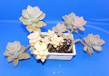 31042Graptoveria titubans ,VERY FRAGILE!, phyto available