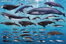Whales Sealife Mammals Educational Science Ocean Class Chart Print Poster 24x36