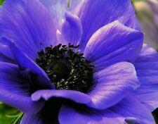 40+ ANEMONE PURPLE PERENNIAL FLOWER SEEDS
