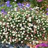 HN- Ground-cover Chrysanthemum Seeds Perennial Daisy Flower Seeds Mix Color