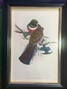Gould Birds TROGON MEXICANUS Antique Hand-Colored Lithograph Art 1838 Framed SW