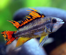 Apistogramma cacatuoides,  double red cockatoo cichlid  3 cm Tropical Fish