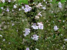 CALAMINTHA CATARIA 50 semi seeds Mentuccia Romana selvatica Rennyroyal Wild mint
