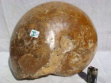 OISEAU RARE. Ammonite Nautilus avec calcite 100% Original, Musée Qualité 26 cm 11 kg