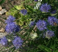 Jasione laevis - Sheeps bit Scabious - Blue Light - 200 seeds - Perennial