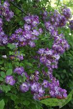 Rosen *Veilchenblau*  Rambler- Rose im Topf gewachsen