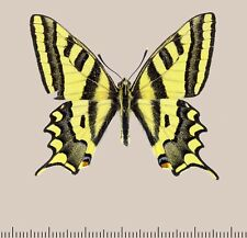 Papilionidae. Papilio alexanor voldemar S. Kazakhstan. Male. Extra Rare!
