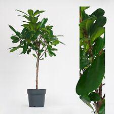 halbschatten pflanzen ausgewachsene zimmerpflanzen ebay. Black Bedroom Furniture Sets. Home Design Ideas