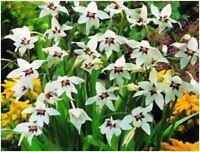 35 PEACOCK ORCHIDS GLADIOLUS CALLIANTHUS 5/6CM SPRING PLANTING GARDENING BULBS