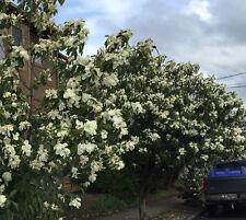 5 Michelia maudiae seeds * Very Fragrant * Shrub Evergreen CombSH M36