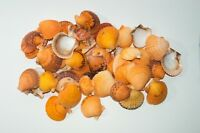 "Orange Pecten Sea Shell Beach Craft Scallop 2"" - 3"" (50 PCS )"