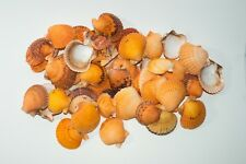 "Orange Pecten Sea Shell Beach Craft Scallop 2"" - 3"" (200 pcs) #JC-31"