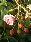 WILD ROSE Canada photo virtual post card #A18j1c04 by A.S.